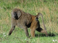 Olive Baboon | Flickr - Photo Sharing! http://en.wikipedia.org/wiki/Olive_baboon