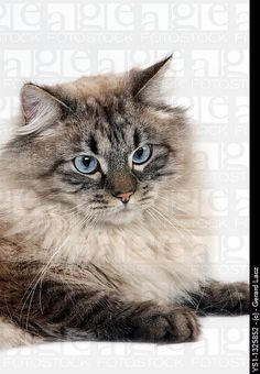 NEVA MASQUERADE SIBERIAN CAT, COLOR SEAL TABBY POINT, MALE AGAINST WHITE BACKGROUND