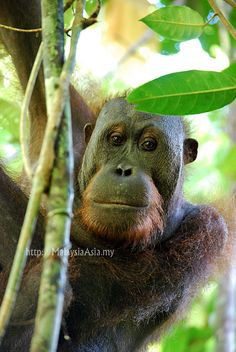 Orangutan in Sabah Borneo. All pictures taken by David from Malaysia Asia.