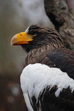Sea Eagle: Snowy white wing by Shahid Durrani National Aviary, Pittsburgh, Pennsylvania, USA