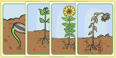 A set of lovely display posters, featuring key sunflower life cycle images. Absolutely fantastic as part of a display. You could also laminate and use to capture the imagination of your children! Sunflower Life Cycle, Teacher Organisation, Planting For Kids, Preschool Garden, Planting Sunflowers, Playdough Activities, Display Lettering, Comprehension Activities, Visual Aids