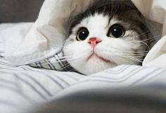 """""""A cat determined not to be found can fold itself up like a pocket handkerchief if it wants to."""" Louis J. Camuti"""