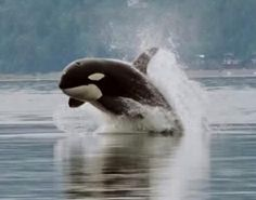 Single breaching orca ~ Hunt in packs like wolves on land. Avg. killer whale eats over 200kg of food daily...includes 20 diff species of marine mammal and more than 30 diff. species of large fish. Avg. lifespan is 60 years in the wild, (thought to depend strongly on the will of the killer whale.) only 25 years in captivity.
