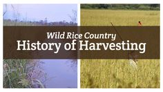 Have you ever wondered where wild rice comes from or the process it takes to harvest it? Let us take you on a short journey through the long history of wild rice harvesting.