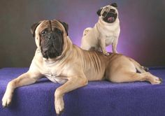 A #Pug and a #Mastiff !How adorable! Check more at http://hrenoten.com