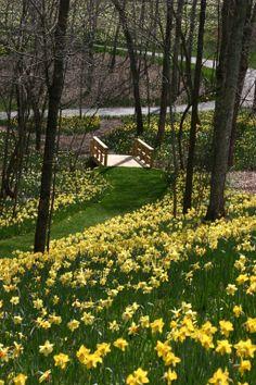 Daffodils. In Gibbs Garden.. more 250 landscaping awards