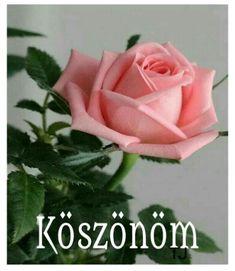 Good Morning, Flowers, Plants, Roses, Buen Dia, Bonjour, Pink, Rose, Plant