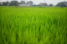 paddy field - 水田