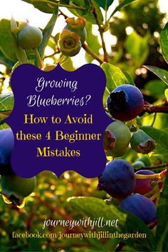 Growing Blueberries? Avoid these 4 Beginner Mistakes