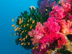 Soft coral along a wall in Viti Levu, Fiji