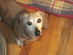 Remembering a very special and much loved dachshund, Barney Fife (1997 - 2014) - tribute at my blog.
