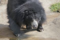 Our beautiful sloth bear Cara! #Toledo #ToledoZoo