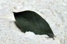 Bay leaves repel pantry insects (beetles, weevils, moths, cockroaches, ants, and flies). The leaves can be placed in containers of flour, rice, and other dry goods, or taped inside cupboards and shelves.
