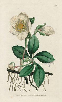 Helleborus Niger. Black Hellebore, or Christmas Rose. from William Curtis Botanical Magazine 1st Edition Prints Vol 1-6 1787