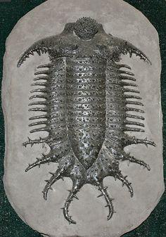 Terataspis grandis, a giant spiny trilobite from the Onondaga Limestone of western New York