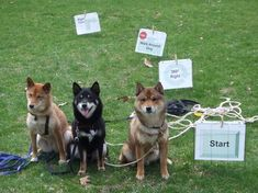 How to Train a Shiba Inu – Tips for Training This Challenging Breed