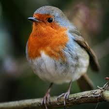 robin red breast -