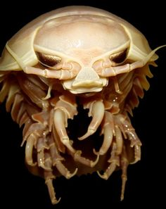 Photograph by Edith Widder, ORCA  Giant isopods—such as this specimen caught during the 2009 expedition—can grow to 16 inches (41 centimeters) and have compound eyes that are extremely sensitive to low light levels. Light bounces off a reflective layer at the back of the eyes called the tapetum, making the eyes appear to glow.     That's why the team carefully collected animals one by one using a mechanical arm on the submersible vessel before placing them inside light-tight, insulated…