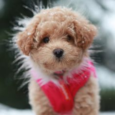 Miss Belle, Poochon, Bichpoo, Puppy, Dog Clothes, Poodle, Bichon