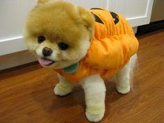 Cute #Pomeranian Halloween costume!