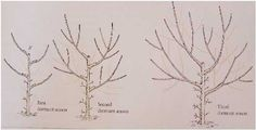 Pruning peach Trees Third Dormant Season – By this time the 3 or 4 primary scaff… – Best Pins Live Fruit Garden, Edible Garden, Garden Trees, Trees And Shrubs, Trees To Plant, Pruning Peach Trees, Watermelon Plant, Prune Fruit, Tree Diagram