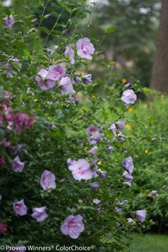 Proven Winners - Lavender Chiffon® - Hibiscus syriacus purple lavender plant details, information and resources. Hibiscus Tree, Lavender Garden, Purple Garden, Moon Garden, Dream Garden, Purple Perennials, Texas Plants, Foundation Planting, Gardens
