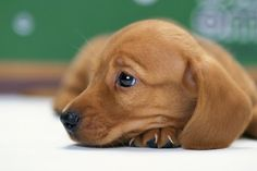 look at that adorable doxie face! #dachshund #puppy #cute via http://www.all-wallpapers.net/wallpaper/animal-dachshund-puppy