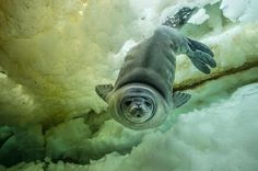 Dive Under Antarctica Reveals a Shockingly Vibrant World Picture of a gray seal diving underwater with yellow and green tones on the icePicture of a gray seal diving underwater with yellow and green tones on the ice Underwater Images, Underwater World, Cool Pictures, Cool Photos, Wildlife Day, Seal Pup, Arctic Animals, Ocean Life, Marine Life
