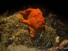 https://flic.kr/p/ycuLPr | Painted Frogfish Dinner.jpg | Banggai Cardinal fish about to become dinner for an orange painted frogfish. Lembeh Straits, Manado, Indonesia.