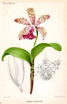 1883 Antique Botanical Print Orchid Cattleya Calummata