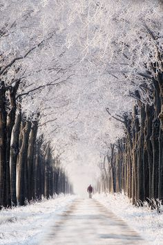 Snowy trees lining a winter path.