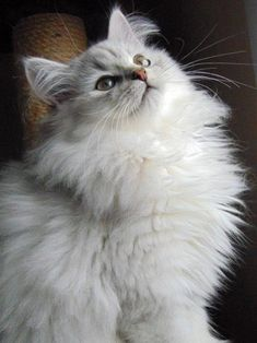 Persian Cat White Fluffy cat breeds - My Norwegian Forest cat Boots is a twin to this beauteous vision of lovliness :) Cute Cats And Kittens, Kittens Cutest, Cool Cats, Pretty Cats, Beautiful Cats, Pretty Kitty, Fluffy Cat Breeds, Animal Gato, Photo Chat