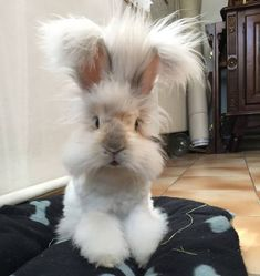If you love bunny rabbits, or are looking for the perfect gift for a bunny lover... check out our fun, fluffy, and fabulous selection of Bunny Slippers for adults, kids, and babies! American Music Awards, Baby Animals, Funny Animals, Cute Animals, Giant Animals, Long Haired Cows, Bad Gyal, Haha, Fluffy Cows