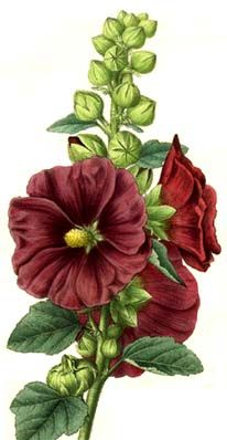 drawings of hollyhocks - Google Search