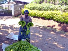 Kenia, tee poimijat