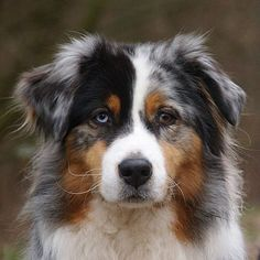 Dogs and Puppies :      Dogs – Image :     Dogs and Puppies Photo  – Description  Australian Shepherd ♥  Sharing is Caring – Hey can you Share this Photo !	  - #DogsandPuppies https://dogs-r-it.com/dogs-and-puppies-australian-shepherd-%e2%99%a5/