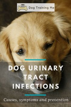 Find out how to prevent and treat dog urinary tract infection. Canine UTI is a common problem. We tell you what you can do at home to help treat your dog and how to prevent it recurring. Click through to read our article now. #dogurinarytractinfection #doghealth #canineUTI
