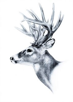 hand drawn image of big white tail buck head with large antlers white-tail deer vector illustration animal isolated on white background for hunting products billboards website, wildlife sketch clipart - stock vector Buck Tattoo, Deer Head Tattoo, Raven Tattoo, Tattoo Ink, Deer Vector, Hirsch Tattoo, Hunting Tattoos, Deer Drawing, Black And White Posters