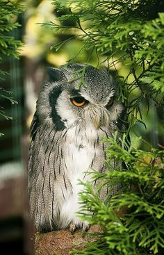 Northern White-faced Owl (Ptilopsis Leucotis).