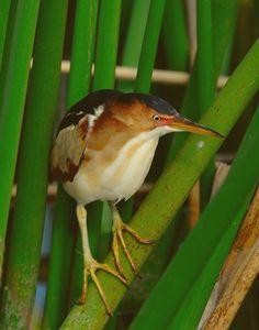 wading birds of florida | Website/BIRD PHOTOGRAPHY BY JOE COSTANZA/Marsh and Wading Birds/Least ...
