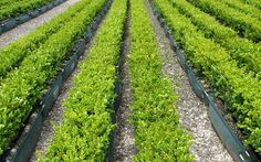 Buxus 'Green Gem' - the classic box hedge for New Zealand gardens