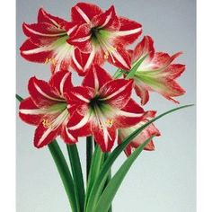 Amaryllis ~ Set of 2 ~ Brazilian Samba ~ Red & White Flowers by It's An Amaryllis!. $5.99. Two Amaryllis Flower Bulbs.. Easy to Grow.. Celebrate Flowers by Growing Some Indoors.. Flowers appear 4 - 8 weeks after planting. Grow indoors. Individually packaged and decoratively wrapped in decorative tissue paper and gift bag, two flower bulbs imported from Peru arrive ready to grow. The flower bulbs have been taken good care of until now so they are ready to bloom without any u...