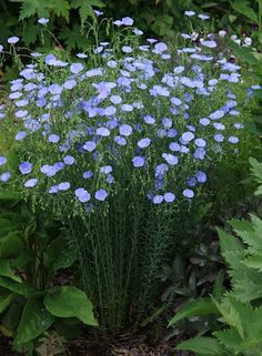 Flax - one hearty plant that come up year after year - and the it's not a deer favorite to eat.\ ! Sun/Part Sun, Zones 5-9, Perennial, 2 x 2 feet. Blooms late summer.