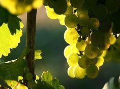 Descubre los secretos de los vinos gallegos.