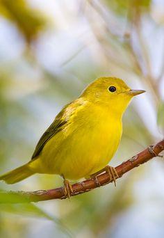 "peregrineinastoop: "" Yellow Warbler by Charles C M "" Animals For Kids, Cute Animals, Most Beautiful Birds, Kinds Of Birds, Exotic Birds, Bird Species, Bird Watching, Bird Feathers, Animal Pictures"