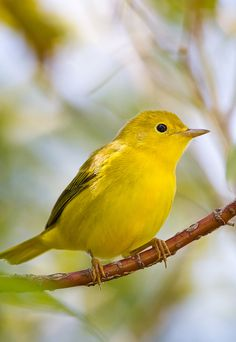 accras:  Yellow Warbler
