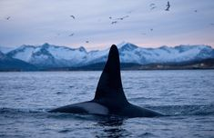 Image result for Three big male orcas swimming together near a fishing boat. Orcas know they will find herring trapped by the nets of the fishing boats so they come here to feed.