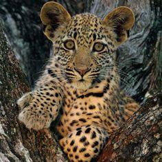 Photo of a leopard cub in Londolozi