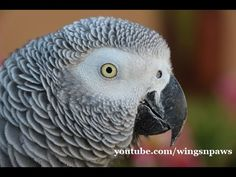 Smokey African Grey Talks Up a Storm - YouTube