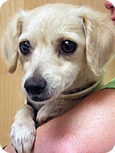 Wildomar, CA - Spaniel (Unknown Type)/Chihuahua Mix. Meet 233567, a dog for adoption. http://www.adoptapet.com/pet/11537686-wildomar-california-spaniel-unknown-type-mix